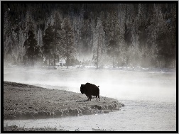 Wyoming, Bizon, Yellowstone National Park
